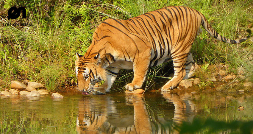 Nepal tiger