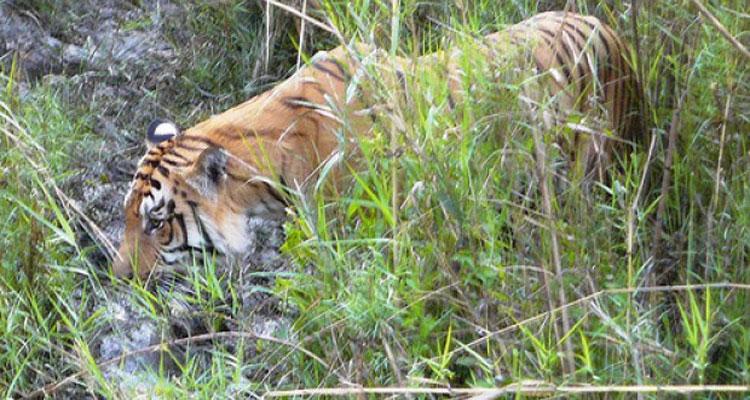 Tiger tracking tour
